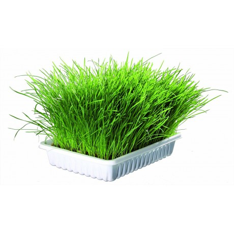 Grass for cat